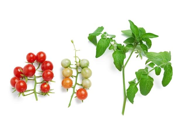 붉은 익은 체리 토마토와 녹색 잎 지점