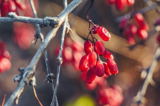Ветка со спелыми ягодами барбариса в осеннем саду