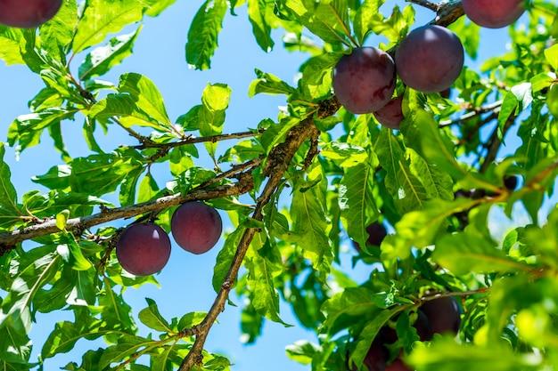 熟した梅の枝