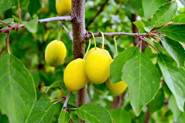 Ветка со спелыми желтыми сливами и листьями на фоне зеленой листвы
