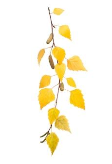 Ветка с пожелтевшими листьями березы на белом фоне