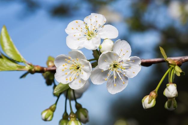 さくらんぼの3つの白い花と枝