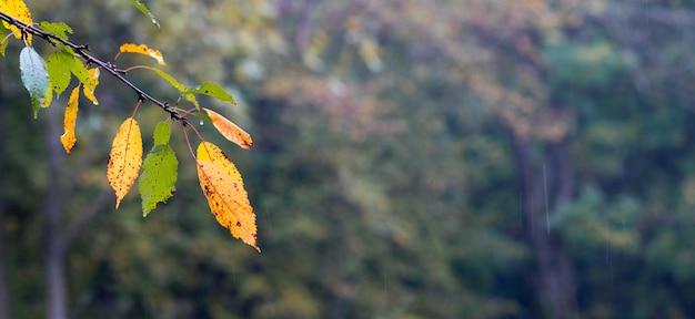 Ветвь с влажными осенними листьями в лесу на размытом фоне. панорама