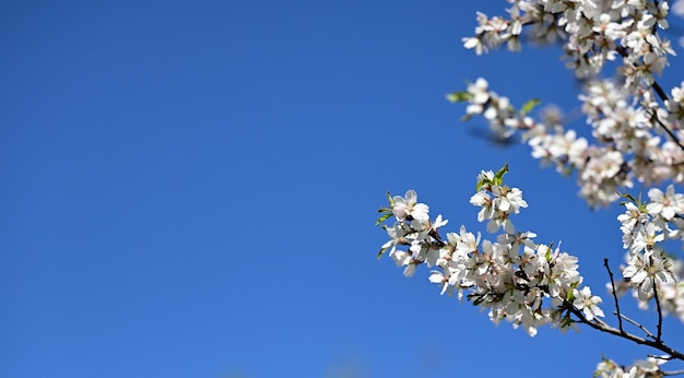 Branch with white almond flowers on blue sky background, sunny spring day, copy space
