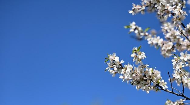 Ветка с белыми цветами миндаля на фоне голубого неба, солнечный весенний день, копией пространства