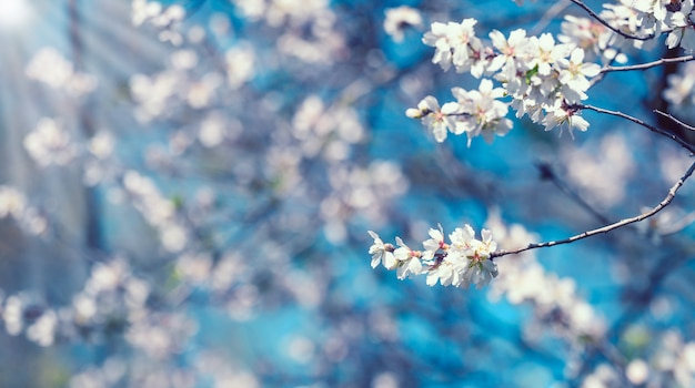 Ветка с белыми цветами миндаля на поверхности голубого неба, солнечный весенний день, копия пространства