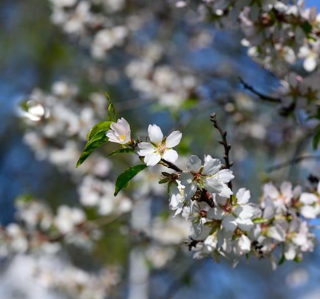 Ветка с белыми цветами миндаля, солнечный весенний день