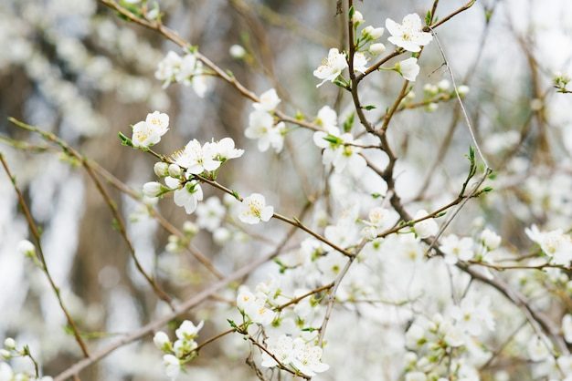Branch with white cherry flowers in the spring garden. selective focus. spring bloom. the first day of spring. march 1