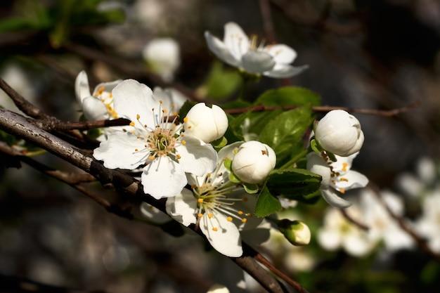 흰 꽃과 신선한 녹색 잎이 있는 가지. 봄의 신선하고 향기로운 꽃. 아름다운 벚꽃 나무의 섬세한 꽃. 낮은 키 사진.