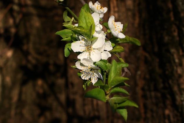 흰색 꽃과 신선한 녹색 잎이 있는 분기. 봄 신선하고 향기로운 꽃.