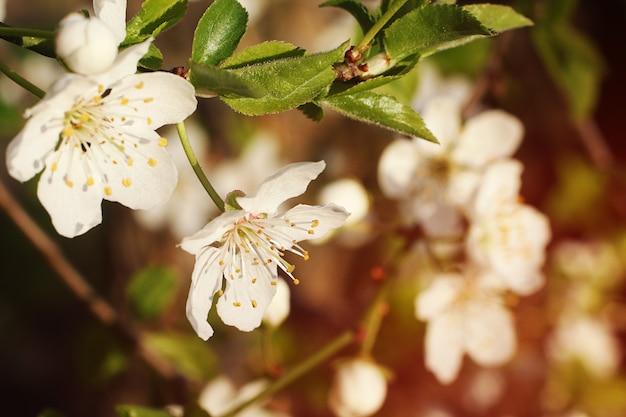 흰 꽃과 신선한 녹색 잎이 있는 가지봄 신선한 향기로운 꽃