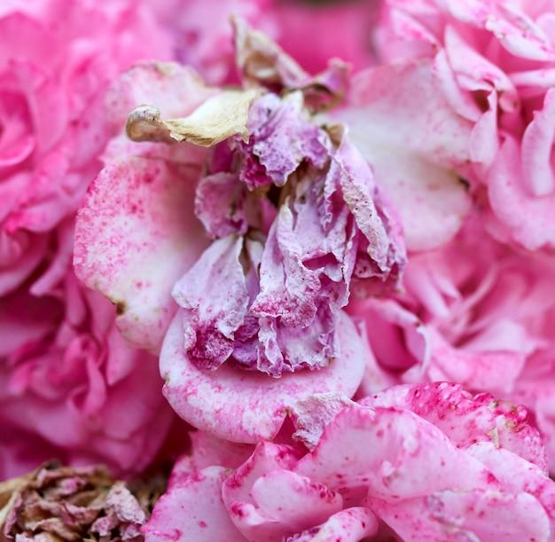 ピンクのバラのつぼみが枯れた枝