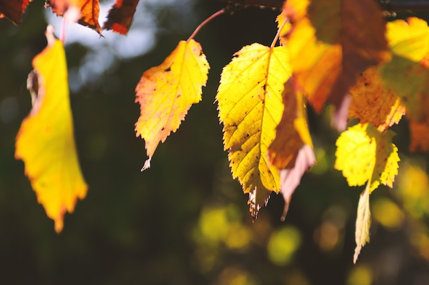 Branch with yellow autumn leaves, lit by the sun, fall season close up. empty place for text, copy space.