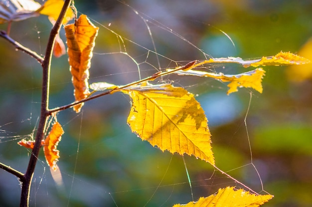 Branch with yellow autumn leaves, spiked with a web, in sunny weather_
