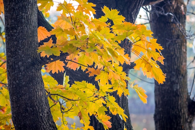 Branch with yellow maple leaves on the background of trees in the forest_