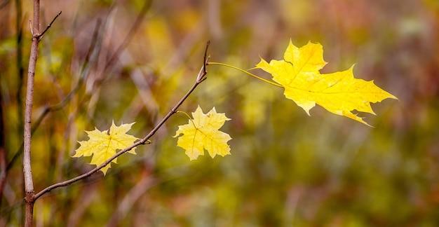 秋の森の黄色いカエデの葉が心地よい温かみのある黄褐色の枝