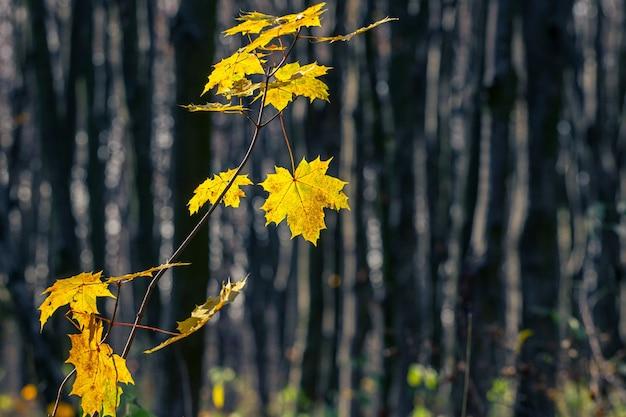 Ветка с желтыми кленовыми листьями в лесу на фоне темных деревьев