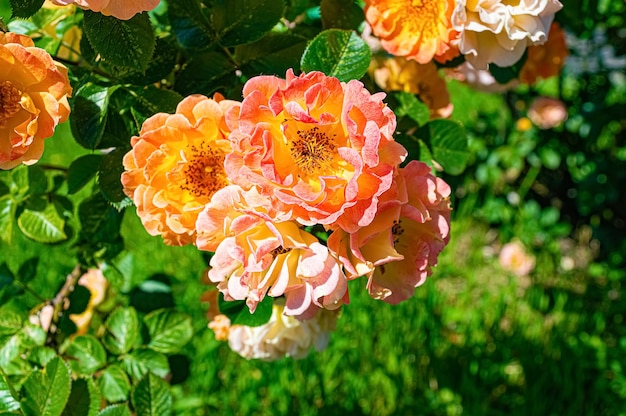 Branch of yellow and pink roses in summer garden.
