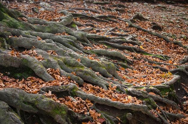 地球のクローズアップの表面にある古い木の枝分かれした根秋の森の根の間の緑の苔