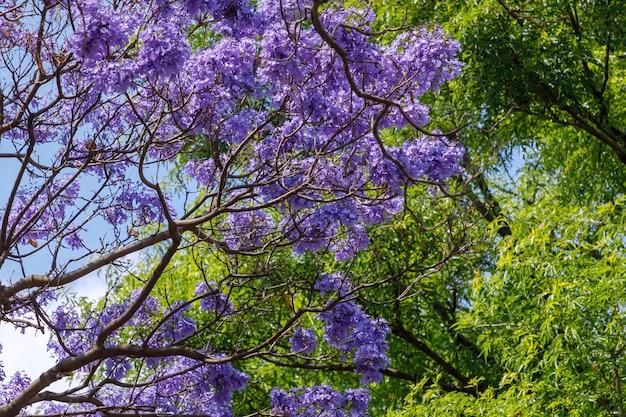 背景に青い空とジャカランダスの枝と花