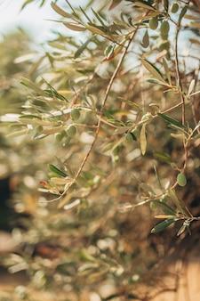 Ветви и листья оливкового дерева в оливковой роще