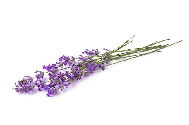 Branches of blooming lavender on a white isolated background.