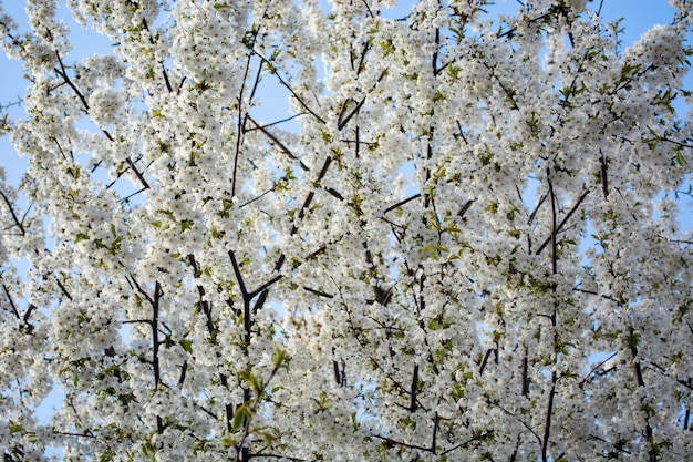 Branches of a blossoming tree against the sky