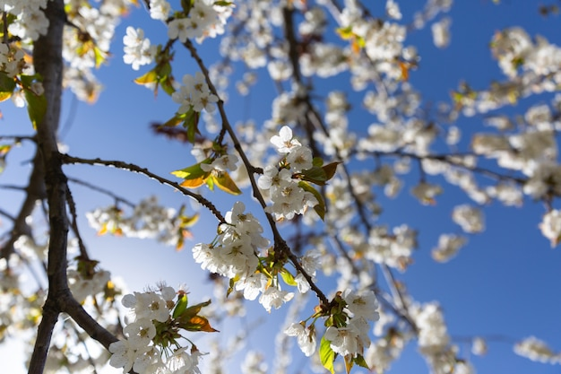 The branches of a blossoming tree