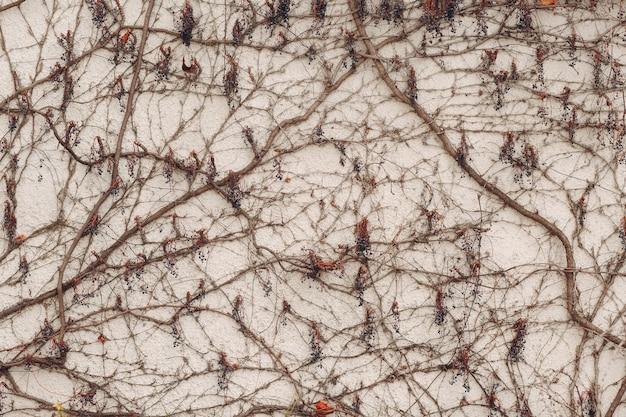 Ветки вьющиеся растения с ягодами на фоне белой гипсовой стены.
