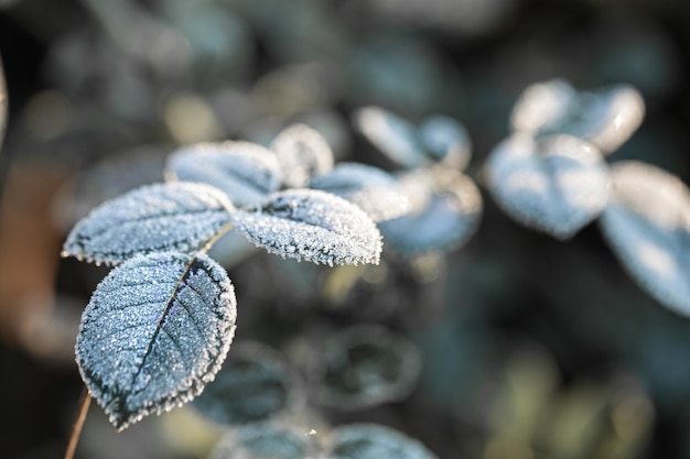 Branches covered with frost. frosty plants in the early morning in the cold season.