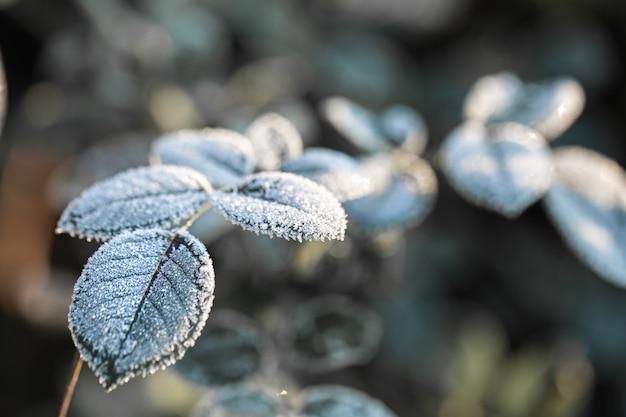 Rami coperti di brina. piante gelide al mattino presto nella stagione fredda.