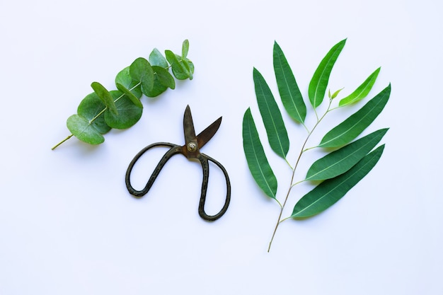 Branches of eucalyptus and vintage scissors