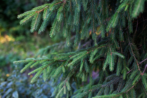 Branches of fir tree