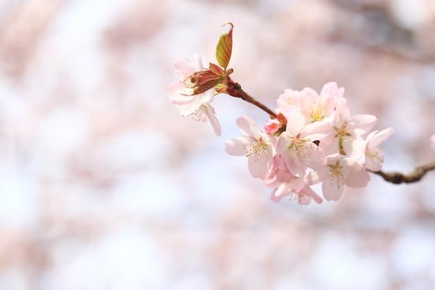 Филиалы цветущей яблони. весенний фон с мягким селективным фокусом. цветущие цветы сакуры