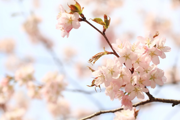 Branches flowering apple tree. spring background with soft selective focus. blooming sakura flowers