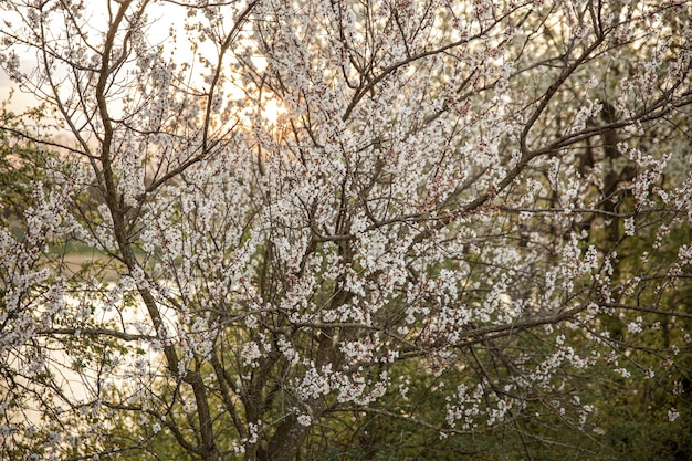 Branches of flowering trees in the evening at sunset Free Photo
