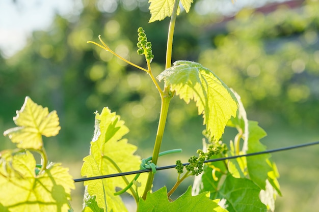 Branches of green leaves of vine, vineyard in spring