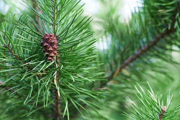 The branches of green pine close-up.