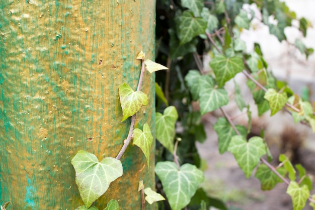 The branches of ivy