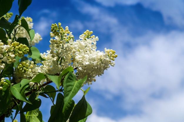 푸른 하늘에 대 한 아름 다운 개화 라일락의 가지