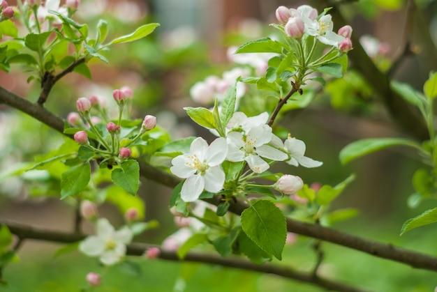 봄 날에 정원에서 흰색과 분홍색 꽃에 꽃이 만발한 사과 나무의 가지.