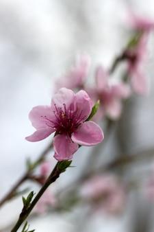 曇り空を背景に開花桃の枝。