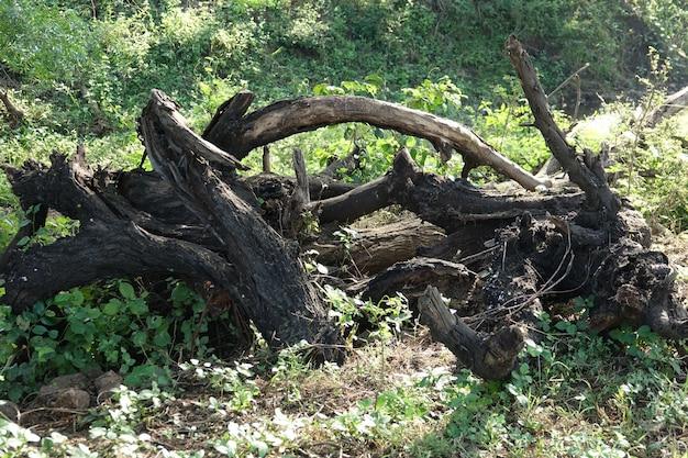 自然の中で乾燥した木の枝