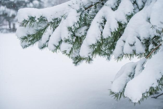 겨울 숲에서 눈에 전나무 크리스마스 트리의 분기. 크리스마스 컨셉