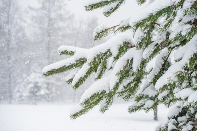 겨울 숲의 눈 속에서 전나무 크리스마스 트리의 가지