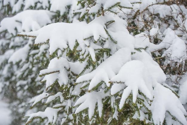 겨울 숲의 눈 속에서 전나무 가지