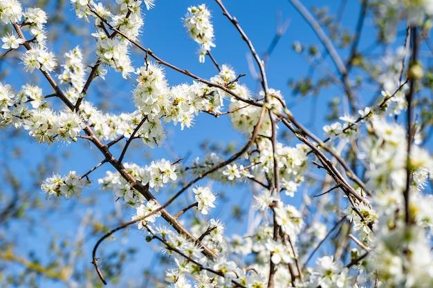 青い背景のリンゴの花の枝