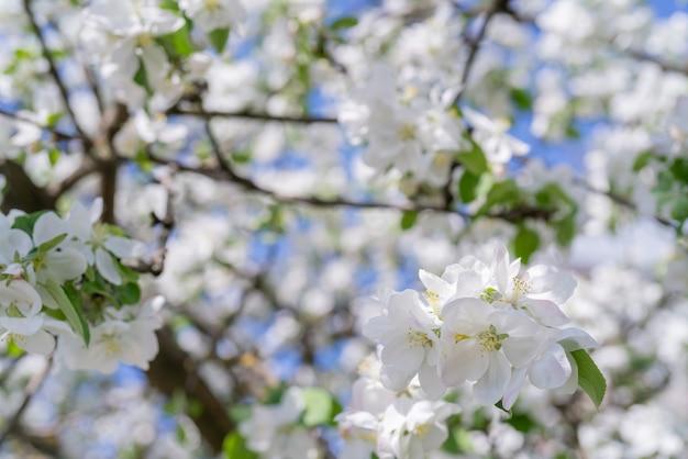 春に咲くリンゴの木の枝。美しい花の白い背景。