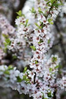 Ветви цветущей дикой вишни, весенней концепции.