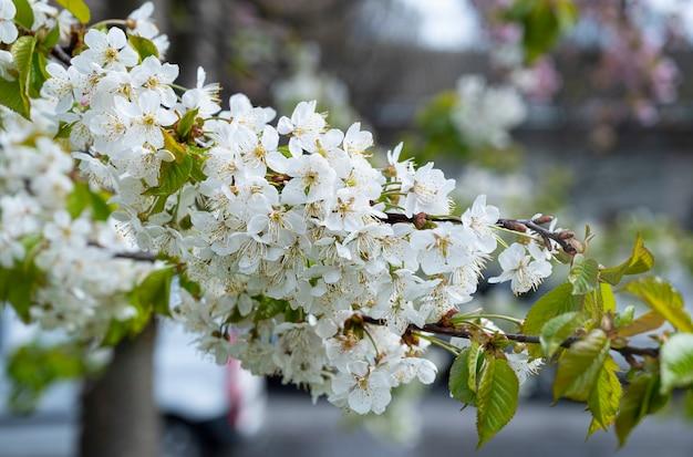 봄철에 꽃이 만발한 벚꽃 가지